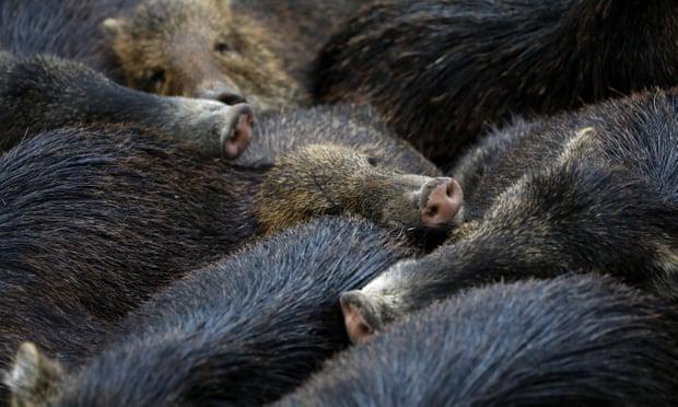 wild hogs usa news