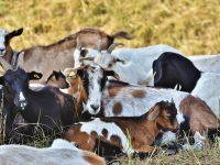 Pashubajaar The Online Trusted Platform To Buy Healthy Goat This Eid